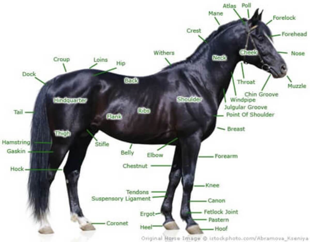Points Of The Horse